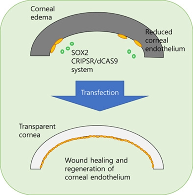 CRISPR-activation of SOX2 Promotes Corneal Endothelial Cell
