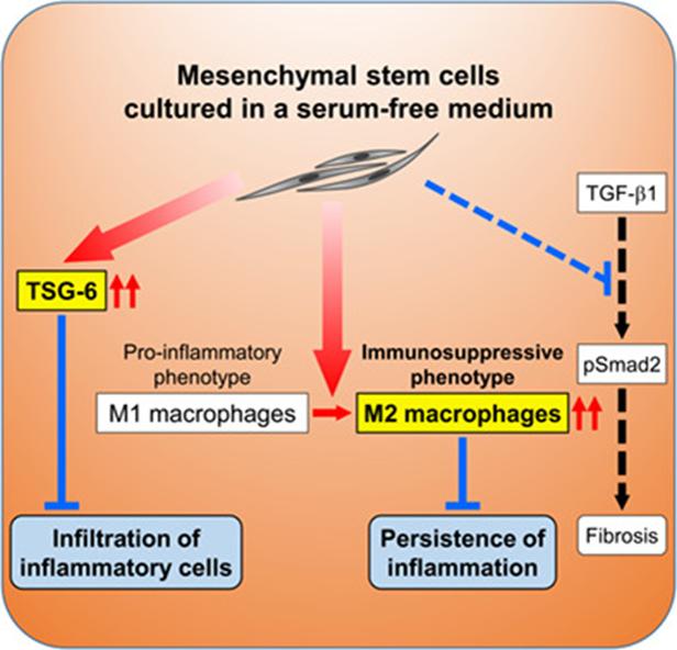 Serum-free Growth Media Improves Mesenchymal Stem Cell