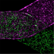 High-magnification image shows a blood-brain barrier Organ-Chip