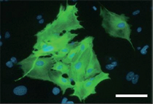 mesoderm induced by Tbx6 from fibroblasts of mouse.